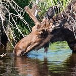 A bull moose takes a drink thumbnail
