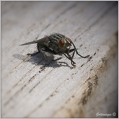 Photo of COMMON FLY by Philip Gott (1)