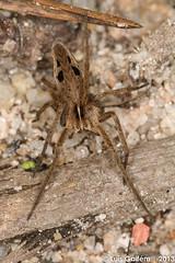 Pisaura mirabilis (Clerck, 1757) (Lus Gaifm) Tags: macro spider web spinne araa pk spindel araigne arachnida ragno aranha voras pajk nurserywebspider edderkop  hmhkki   pisauramirabilis  rmcek   kngul mblik zirneklis maracho aranhadeberrio lusgaifm