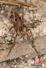 Pisaura mirabilis (Clerck, 1757) (Luís Gaifém) Tags: macro spider web spinne araña pók spindel araignée arachnida ragno aranha voras pająk nurserywebspider edderkop паук hämähäkki クモ αράχνη pisauramirabilis павук örümcek עכביש 거미 kónguló ämblik zirneklis marachão aranhadeberçário luísgaifém