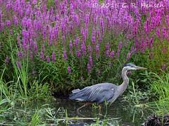 Great Blue Heron (cobalt_creek) Tags: heron canon wetlands wa marsh pnw greatblueheron ardeaherodias purpleloosestrife birdsofwashingtonstate washingtonstatewildlife wawildlife canon5dmarkiii birdinginwa birdinginthepacificnorthwest wildlifeofthepacificnorthwest greghensen