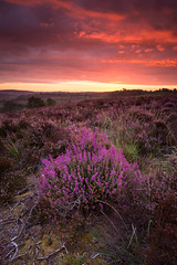 Heather at Rockford Common (Stu Meech) Tags: new summer sky flower colour clouds forest sunrise prime nikon stu heather hard hampshire lee flowering 24mm filters grad the meech d610 06nd 09nd