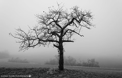 A cold morning in early December. (andreasheinrich) Tags: landscape tree fields fog morning winter december blackandwhite blackandwhitephotos misty cold germany badenwürttemberg neckarsulm dahenfeld landschaft baum felder nebel morgen dezember schwarzweis neblig kalt nikond7000