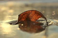 breathe (joy.jordan) Tags: leaf frozen ice winter texture light sunset bokeh reflection meditation