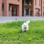 西高地白梗 West Highland White Terrier thumbnail