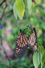 (jen.ivana) Tags: butterfly green garden leaves