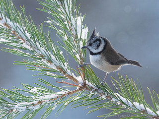 Crested Tit, male