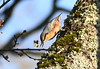 Nuthatch searches. (pstone646) Tags: bird nuthatch lichen tree animal wildlife ashford kent fauna nature