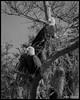 Eagles of Lake George Florida (flintframer) Tags: eagles bald raptors pair florida wildlife nature birds juniper river george lake bland white bw canon eos 7d markii ef100400mm