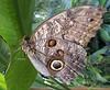 Bananenfalter (Eisgräfin (very busy)) Tags: butterfly schmetterling tropenhaus berggarten herrenhausen hannover germany eisgräfin