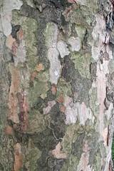 Boombast - Plataan (Wontolla65) Tags: bomen bast plataan