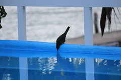IMG_0411 (DaveGifford) Tags: mexico islamujeres bird casabonita