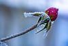 KGR_3765-2 (KGR_) Tags: tamron sp af 60mm f20 macro frost winter garten eiskristalle d7100