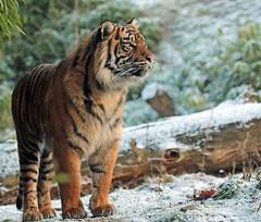 sumatran tiger Burgerszoo JN6A1069 (j.a.kok) Tags: tijger tiger sumatraansetijger sumatrantiger pantheratigrissumatrae cat kat predator sumatra asia azie mammal zoogdier