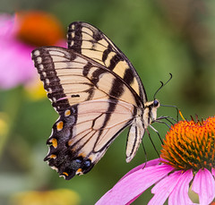 Fluttering Tiger (tresed47) Tags: 2016 201607jul 20160728chestercountymisc butterflies canon7d chestercounty content easterntigerswallowtail folder insects pennsylvania peterscamera petersphotos places springtonmanor swallowtail takenby us