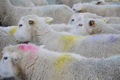 _DSC2531 (Pauline & Gaël) Tags: sheep mouton troupeau herd flock agriculture laine wool