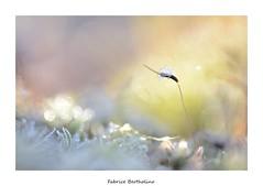 Sporophyte gelé . (bertholino fabrice) Tags: mousse sousbois sporophyte gel givre gelé cristaux froid nature verdure macro couleur pastel fabricebertholino nikond600 24x36 proxy sigma105macrooshsm bretagne insolite