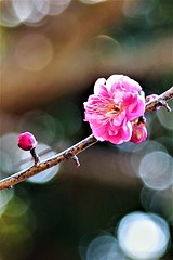 梅花 (eriko_jpn) Tags: pinkflower plumblossom prunusmume