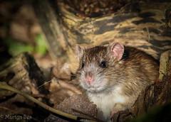 Ratty (M iles) Tags: rat rodant nature wildlife
