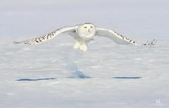 Harfang des neiges - Snowy owl - Bubo scandiacus (Maxime Legare-Vezina) Tags: bird oiseau owl nature wild wildlife animal fauna ornithology biodiversity canon winter hiver snow quebec canada wow