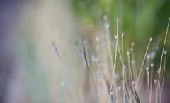 Summer Breeze (setoboonhong ( On and Off )) Tags: nature outdoor summer time grass seeds depth field bokeh colours blur mood royal melbourne botanical gardens song seals croft 1972 summerbreeze