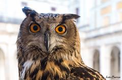 Eagle owl (JOAO DE BARROS) Tags: eagle owl bird animal portrait joão barros
