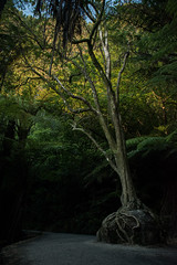 Dark and Light (BrandonDuarte) Tags: tree rock nature travel nikon d5500 landscape light dark grow forest woods sun shine sunshine new zealand te whanganuiahei cathedral cove marine reserve portrait