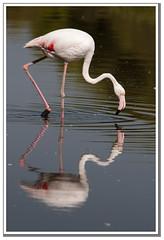 20160818_13787_DSC0109 (ramon_lasheras) Tags: ramónlasheras flamencos albufera valencia aves laguna