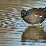 Gallinule poule d'eau thumbnail