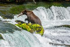 oso pescando (barragan1941) Tags: alaska brooksfalls fauna mamiferos osos osospescando bears fishing