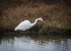 Snowy Egret  No 1