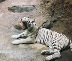 Meow! 🐅🐾 (Mikhail Shamov) Tags: bigcats bigcat cats cat bengaltiger whitetiger tiger animals moscowzoo zoo january winter city moscow тигрицакали кали бенгальскийтигр белыйтигр тигр животные московскийзоопарк зоопарк январь зима город москва
