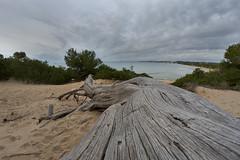 Platja Llarga (explored) (Escipió) Tags: beach deadwood pine clouds goldensand tarragona samyang8mmf35