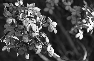 Hydrangea B&W