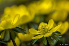 Winterlinge (Wilke Michael) Tags: winterlinge frühling frühblüher blüten gelb