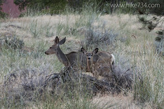 "Mule Deer • <a style=""font-size:0.8em;"" href=""http://www.flickr.com/photos/63501323@N07/18241579089/"" target=""_blank"">View on Flickr</a>"