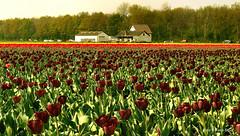 Bollenstreek (kees.stoof) Tags: flowers tulips bloemen tulpen lisse bollenstreek hillegom