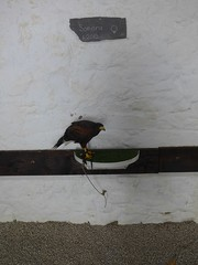 Falconary Ireland012