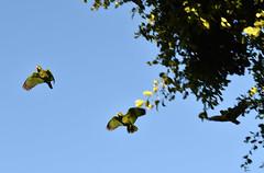 DSC_0382 (FLY2BIGBEAR) Tags: greenparrot parrot santaana orange county california city wild free green parrots redcrowned amazon amazona viridigenalis train station santa ana redcrownedamazon amazonaviridigenalis