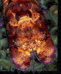 cicala-di-mare_15988975522_o