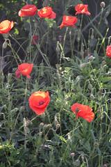 Klaprozen op . . . (willem_huwae) Tags: canon maastricht sint gras rood bloemen knoppen pietersberg onkruid klaprozen willemhuwae
