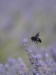 Vol au dessus d'un champ de lavande **--- °-° (Titole) Tags: abeillecharpentière inflight titole lavender lavande nicolefaton black purple xylocopa bourdonnoir bourdonbleu friendlychallenges challengeyouwinner unanimouswinner thechallengefactory