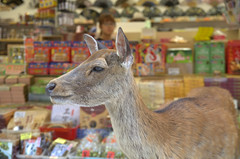 Deer before the shop