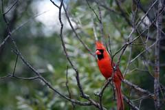 Cardinal 1 (Braden Bygrave) Tags: park red canada tree bird nature nikon riverside cardinal bokeh like fave nikonphotography d7100 55300mm nikond7100