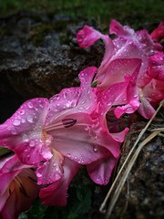 Wet Flower Water Fragility Freshness Petal Drop Nature Beauty In Nature Rain Dew Flower Head Growth Pink Color Close-up Plant Focus On Foreground RainDrop Outdoors Rainy Season (Cesc Cam) Tags: wet flower water fragility freshness petal drop nature beautyinnature rain dew flowerhead growth pinkcolor closeup plant focusonforeground raindrop outdoors rainyseason
