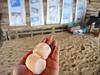 SeaTurtle eggs 海龜蛋 (MelindaChan ^..^) Tags: srilanka 斯里蘭卡 seaturtle 海龜 chanmelmel mel melinda melindachan