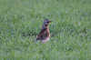 Fieldfare looking for dinner (aaron19882010) Tags: fieldfare field hunting bugs worms grass crops farmer nature wildlife european winter migrate brown grey black white canon 750d sigma 600mm outdoors outside