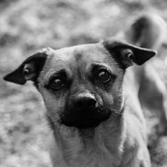 Inspector_Gadget14Jan1700020-Edit.jpg (fredstrobel) Tags: dogs pawsatanta phototype atlanta blackandwhite usa animals ga pets places pawsdogs decatur georgia unitedstates us