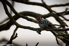 Pico menor, Lesser Spotted Woodpecker (Dryobates minor) (Corriplaya) Tags: picomenor lesserspottedwoodpecker dryobatesminor aves birds corriplaya