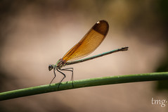 Copper Demoiselle (hembra/female) - In explore 15/01/17 (Teo Martínez (temege)) Tags: invertebrados insectos insects zigópteros caballito diablo demoiselle naturaleza nature macro nikon 105mm rio river verano summer alicante mariola